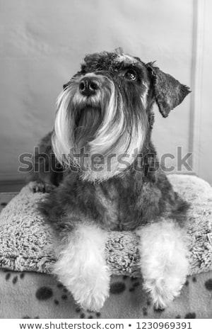 Black schnauzer portait in white photo studio Stock photo © vauvau