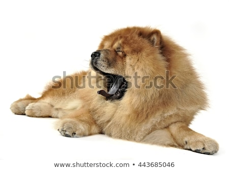 Beautiful chow chow posing in a photo studio stock photo © vauvau