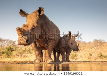Dehorned White rhino. Stock photo © simoneeman
