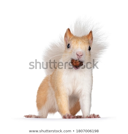wild squirrel eating nut stock photo © taviphoto