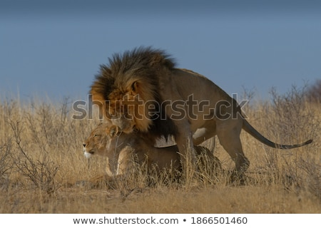 Mating pair of Lions. stock photo © simoneeman