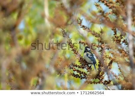 tit · rami · sereno · primavera · occhi · giardino - foto d'archivio © FOTOYOU