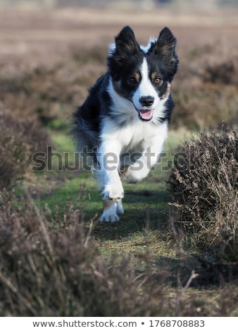 Border collie dog running Stock photo © raywoo