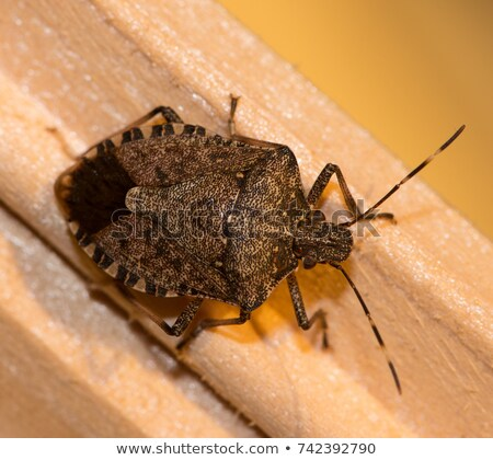 Stock photo: Brown Stink Bug