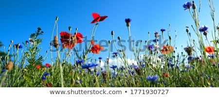 prado · blue · sky · amarelo · flores · silvestres · nuvens - foto stock © wdnetstudio