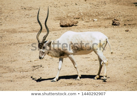 Stock photo: animal antelope addax