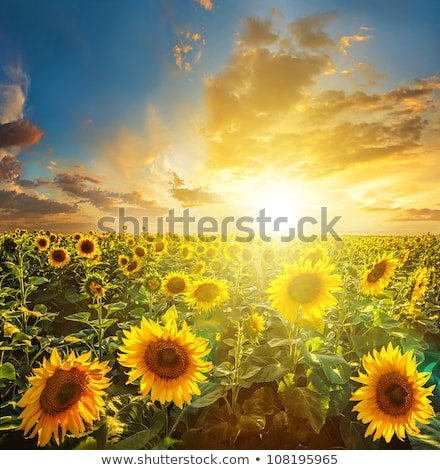 Summer landscape with a field of blooming sunflowers Stock photo © AlisLuch