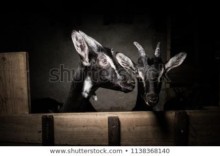 kecskék · istálló · farm · szem · tájkép · test - stock fotó © FreeProd