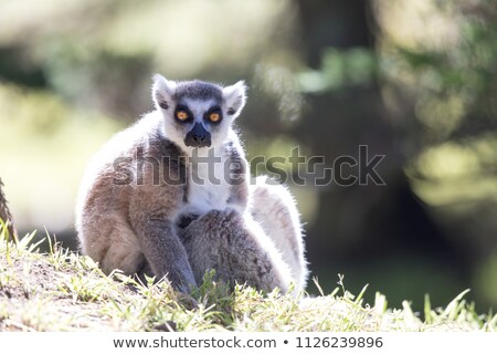 ring tailed lemur lemur catta catching morning sun stock photo © yhelfman