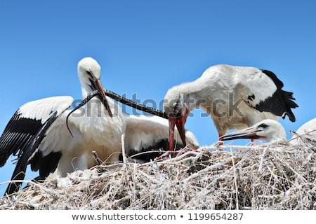 Storch Ernährung Küken Würfel Schlange selten Stock foto © taviphoto