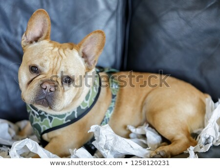Frenchie lying down on sofa with his paper shredded background Stock photo © yhelfman