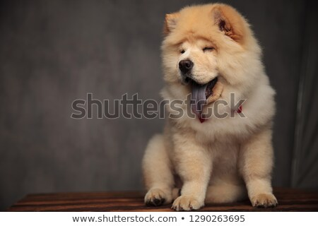 elegant chow chow sitting on wooden table panting and blinking stock photo © feedough