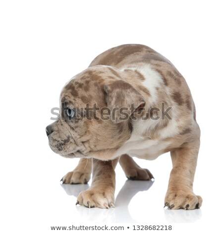 shy American bully puppy standing and looking curiously to side Stock photo © feedough