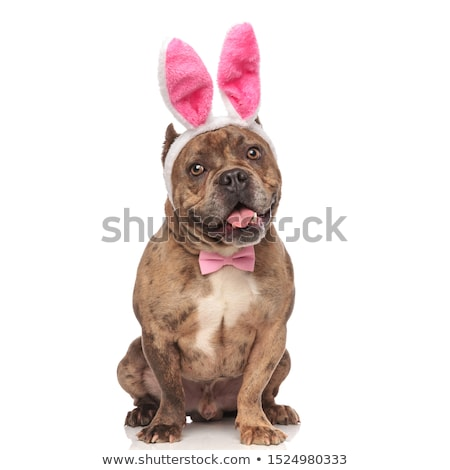 happy american bully wearing easter bunny ears and bowtie Stock photo © feedough