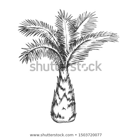 Palm Tree Sabal Minor Miami Palmetto Ink Vector Stock photo © pikepicture