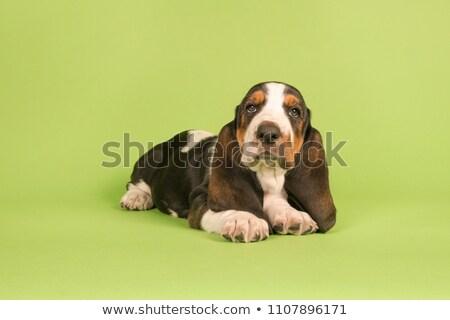Godny podziwu ogar posiedzenia czarny psa Zdjęcia stock © vauvau