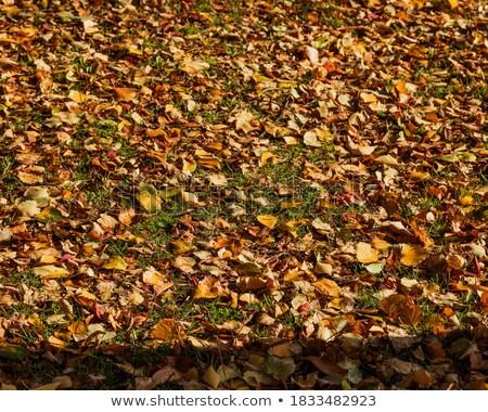 Full Frame Field of Orange Autumn Maple Leaves on Trees Stock photo © Qingwa