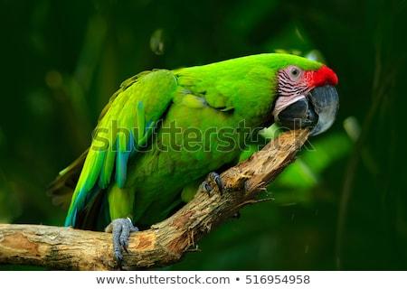 katonaság · papagáj · madár · szín · trópusi · állat - stock fotó © gant