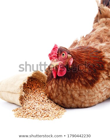 brown hen isolated on white background stock photo © jet