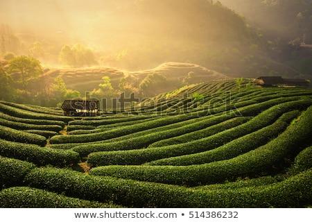 chá · verde · campos · luxuriante · Monte · Fuji · paisagem · neve - foto stock © capturelight