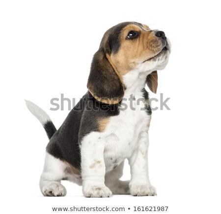 tazı · köpek · yavrusu · sevimli · bakıyor · bir · şey - stok fotoğraf © feedough
