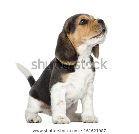 beagle puppy barking Stock photo © feedough