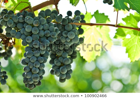 Stock photo: Ripe red wine grapes right before harvest