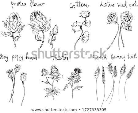 secas · lótus · semente · quadro · flor · tropical - foto stock © zkruger
