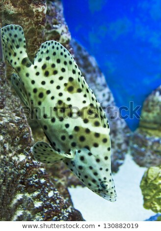 Panthère poissons tropicaux poissons océan tropicales blanche Photo stock © Mikko