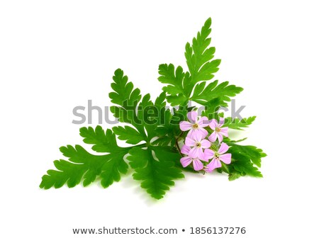 Erodium flower closeup Stock photo © haraldmuc
