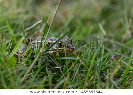 brown northern leopard frog stock photo © ca2hill