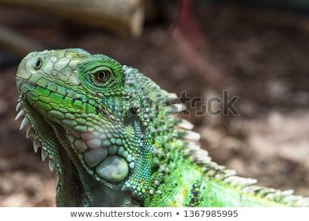 Leguan Stock photo © Geribody