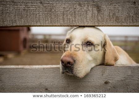 őrkutya · mögött · kerítés · fehér · labrador · retriever · ősz - stock fotó © ryhor