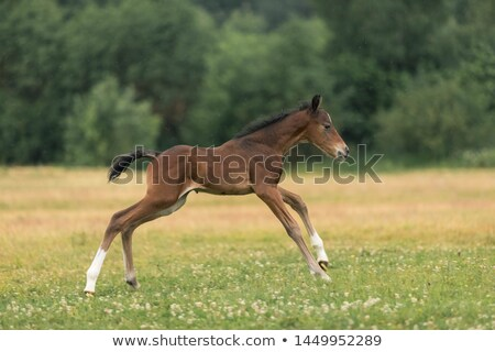 Stock photo: brown foal and horses on farm