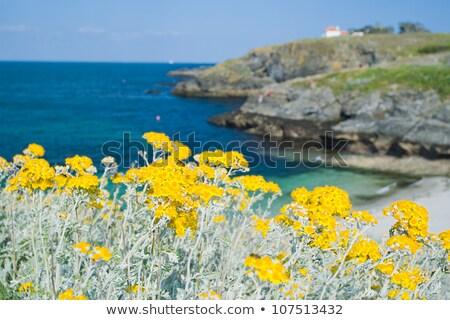 Sarı çiçekler sahil uçurum Yunanistan çiçekler deniz Stok fotoğraf © Mps197
