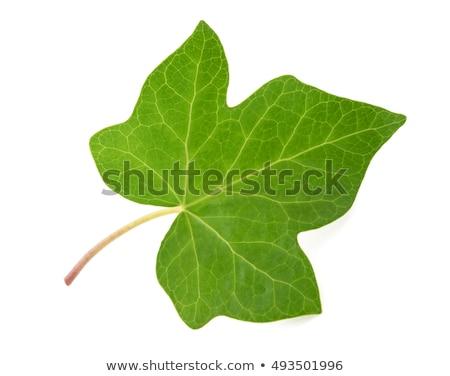 Lierre laisse vert utile Photo stock © claudiodivizia