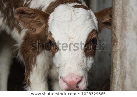 корова · глазах · области · фермы · молоко - Сток-фото © lucielang