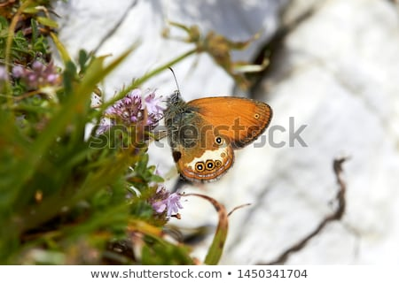 The Large Heath, Coenonympha tullia Stock photo © t3rmiit
