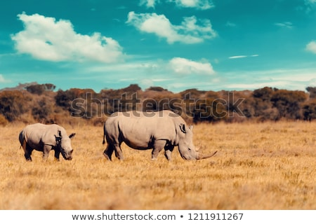 Stock photo: White Rhino in Grass
