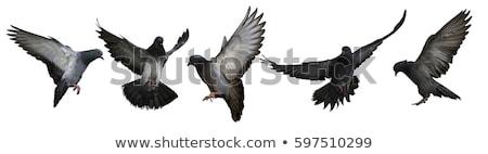 Group of pigeon flying isolated on white background Stock photo © jaffarali