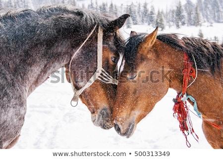 Barna ló szem tél időjárás részlet Stock fotó © CaptureLight