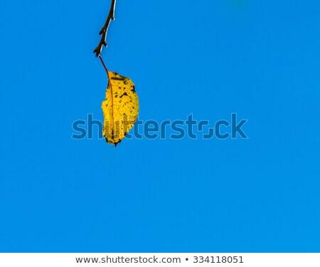 tölgy · levelek · harmónia · nap · naplemente · levél - stock fotó © meinzahn