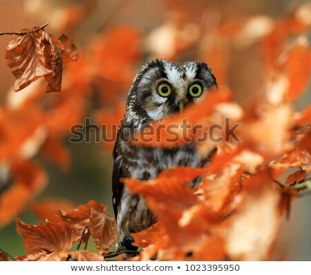 Wide Eyed Owl Stock photo © jrstock