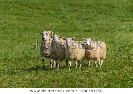 Four sheeps Stock photo © bluering