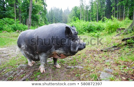 Fat gray pig Stock photo © bluering