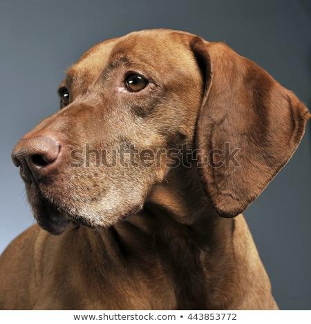 Foto stock: Belo · húngaro · posando · foto · estúdio · cão