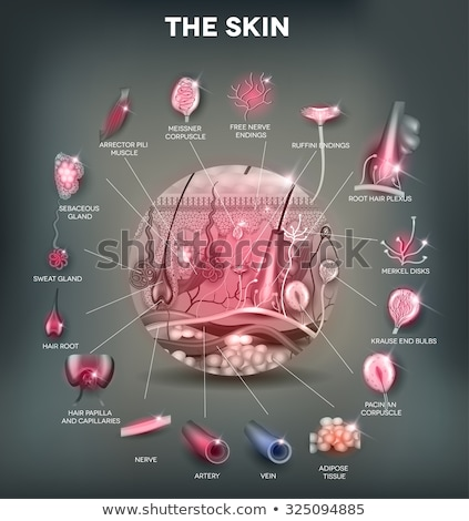 skin anatomy detailed illustration beautiful bright colors stock photo © tefi