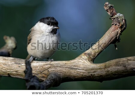 Sunny Marsh Tit stock photo © FOTOYOU