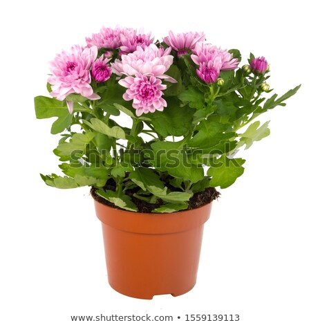 Daisy Seedlings Sprouting in Pots, Isolated White Stock photo © Qingwa