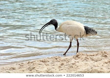 Australian white ibis (Threskiornis moluccus) Stock photo © dirkr
